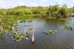 沼泽地国家公园美国 库存图片