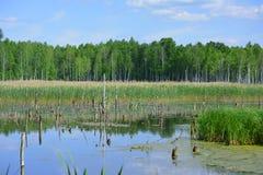 沼泽地在白俄罗斯在好日子 免版税库存图片