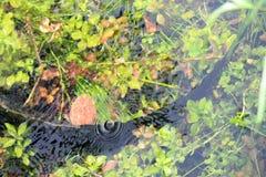 沼泽地在水下的鳄鱼尾巴 库存图片