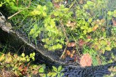 沼泽地在水下的鳄鱼尾巴 免版税图库摄影