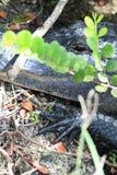 沼泽地在头旁边的鳄鱼手 免版税库存照片