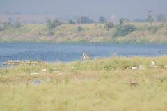 沼泽地污染在印度 免版税库存照片