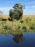 沼泽地浇灌并且放牧和树 库存照片