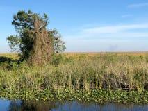 沼泽地浇灌并且放牧和树 库存图片