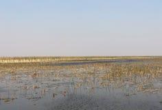 沼泽地浇灌并且放牧 库存图片