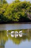 沼泽地野生生物 库存图片