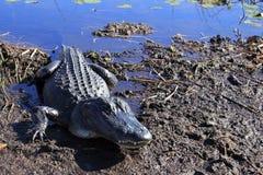 沼泽地鳄鱼 免版税库存图片