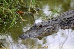 沼泽地鳄鱼 库存照片