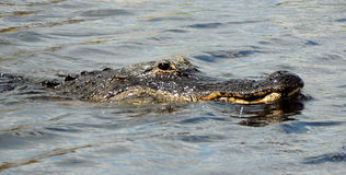 沼泽地鳄鱼 库存图片