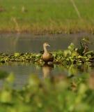 沼泽地鸟:吹哨的鸭子 库存照片