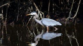 沼泽地鸟 库存照片