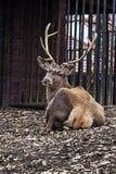 沼泽地deer1 免版税库存图片