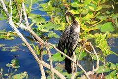 沼泽地N P - 美洲蛇鸟 库存图片
