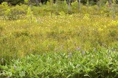 沼泽席子和小梭鱼杂草在Sunapee,新罕布什尔 免版税库存图片