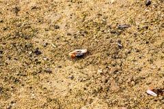 沼泽招潮蟹,印度尼西亚 免版税库存照片