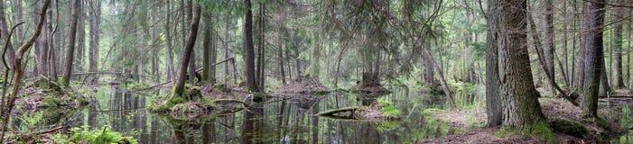 沼泽森林自然的全景 免版税库存照片