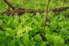 沼泽植物春天成长  免版税库存图片