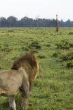 沼泽狮子非洲看见长颈鹿 免版税库存图片