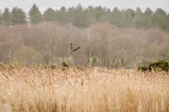 沼泽猎兔犬在飞行中马戏aeruginosus 免版税库存照片