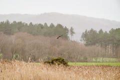沼泽猎兔犬在飞行中马戏aeruginosus 免版税库存图片