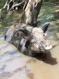 沼泽猪 免版税库存图片