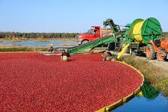 沼泽的工作者蔓越桔收获的在新泽西 免版税库存图片