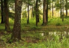 沼泽的森林 免版税库存照片