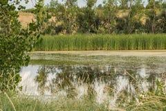 沼泽的池塘 免版税图库摄影