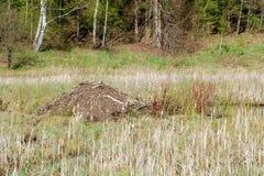 沼泽的海狸小屋在森林附近 库存照片