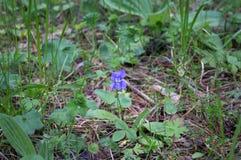 沼泽紫罗兰在狂放的森林里在南乌拉尔 免版税库存照片