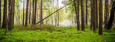 沼泽绿色富有的森林 库存照片