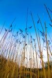 沼泽芦苇 库存图片