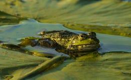 沼泽荷花的叶子 免版税库存图片