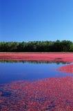 沼泽蔓越桔 免版税图库摄影