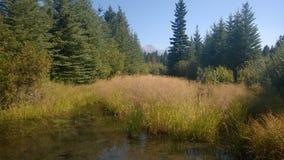 沼泽银行在森林里 免版税库存图片