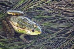 沼泽青蛙在充分池塘杂草 池蛙Pelophylax esculentus开会在水中 免版税库存图片