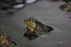 沼泽青蛙坐一片绿色叶子 免版税库存图片