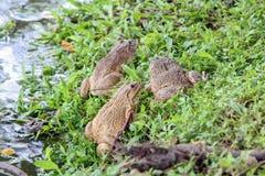 沼泽青蛙坐草在池塘附近 免版税库存照片