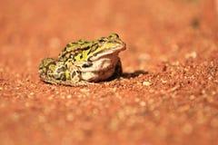 沼泽青蛙 库存照片