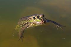 沼泽青蛙 免版税库存图片