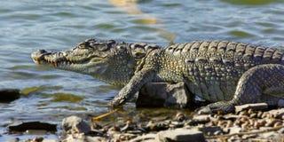 沼泽鳄鱼 库存图片