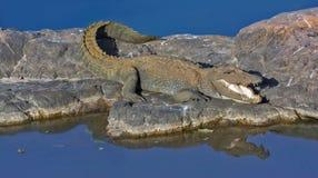 沼泽鳄鱼 免版税库存图片