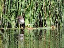 沼泽鸡在芦苇的3-4个月 免版税图库摄影