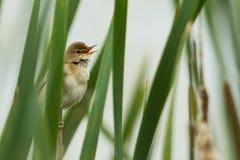沼泽鸣鸟 图库摄影