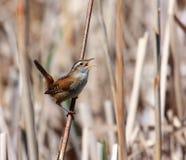沼泽鹪鹩 免版税库存照片