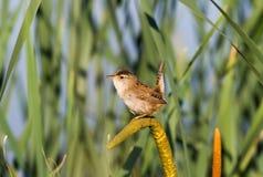 沼泽鹪鹩 库存照片