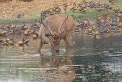 沼泽鹿动物 免版税库存照片