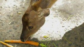 沼泽鹿在动物园吃红萝卜 股票录像