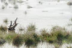 沼泽,在早晨薄雾的风景与野兔` s尾巴羊胡子草 免版税库存图片