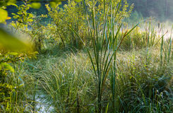 沼泽绿叶 库存图片